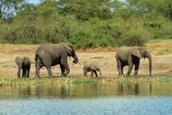 Elefantii, hipopotamii si gorilele amenintate cu disparitia
