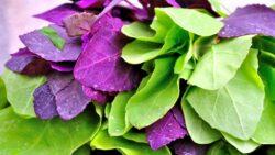 Loboda are de doua ori mai multa vitamina C decat lamaia si spanacul