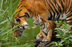 hl_eye-of-the-tiger-com_sumatrantigercub_wilhelmazoo