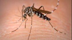 """""""Fabrici"""" de tantari modificati genetic - La ce folosesc si unde se elibereaza insectele"""