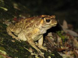 Catastrofa ecologica: O broasca ameninta paradisul din Madagascar