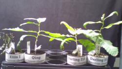 Renașterea castanului american prin intermediul biotehnologiilor. Metoda prin care cercetătorii vor să salveze această specie