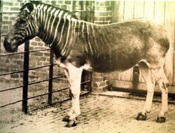 Quagga – animalul disparut de mai bine de un secol, ar putea fi vazut din nou umbland pe vastele campii din Africa de Sud