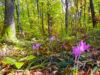 Cultivarea coniferelor, in detrimentul arborilor cu frunze mari, a contribuit la incalzirea globala – studiu