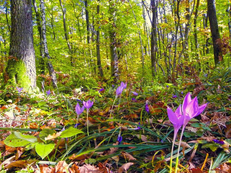 Cultivarea coniferelor, în detrimentul arborilor cu frunze mari, a contribuit la incalzirea globala - studiu