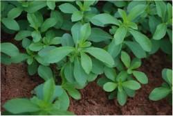 Stevia, un indulcitor natural